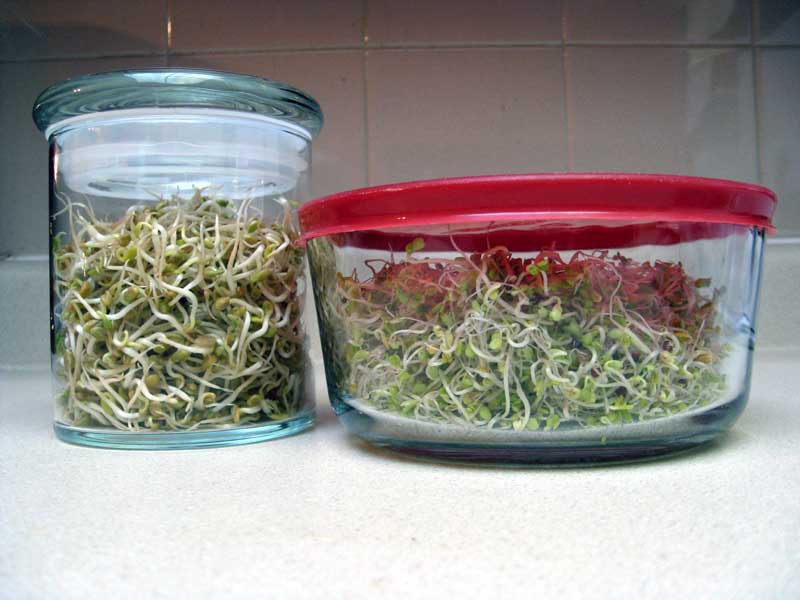 Sprouts ready for storage in the refrigerator